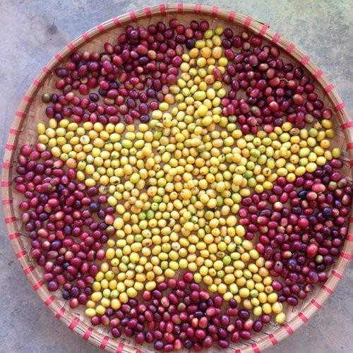 K'Ho Coffee, destino atractivo para los amantes del café en zona altiplánica de Vietnam - ảnh 1