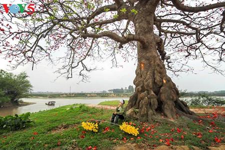 越南北部乡村鲜艳夺目的红色木棉花 - ảnh 15