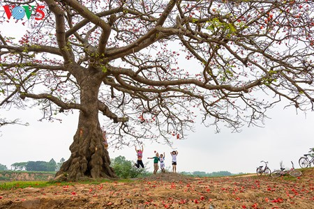 越南北部乡村鲜艳夺目的红色木棉花 - ảnh 1