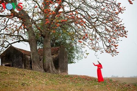越南北部乡村鲜艳夺目的红色木棉花 - ảnh 3