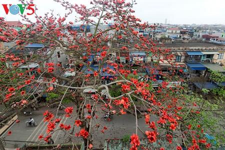 越南北部乡村鲜艳夺目的红色木棉花 - ảnh 5