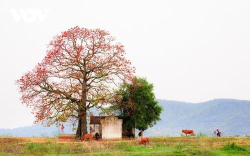 三月份盛开在苍江边的木棉花 - ảnh 1