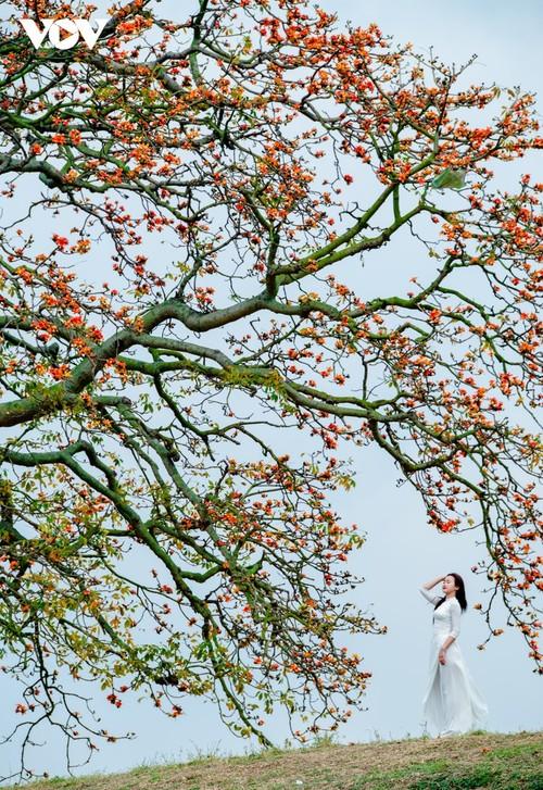 三月份盛开在苍江边的木棉花 - ảnh 9