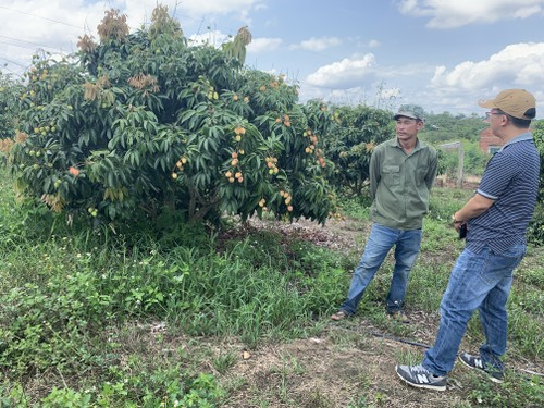 Central Highlanders earn a good profit from growing lychees in impoverished soil - ảnh 1