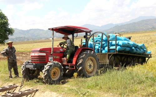 Farmers enjoy a bumper harvest in Dak Lak province - ảnh 2