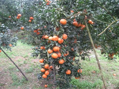 Kabupaten Quang Binh, Provinsi Ha Giang mengembangkan pohon jeruk manis secara berkesinambungan menurut standar VietGap - ảnh 1
