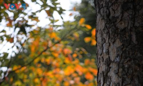 Màu áo mới của Hồ Gươm giữa mùa cây thay lá - ảnh 11