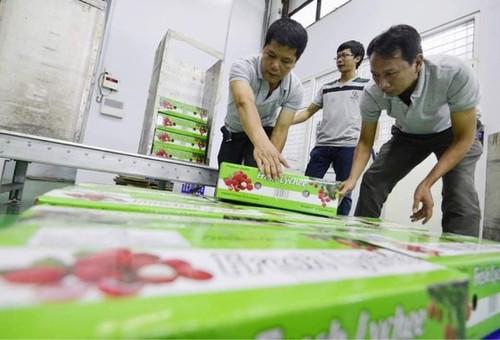 Exportation du premier lot de litchi de Bac Giang à destination du Japon - ảnh 1