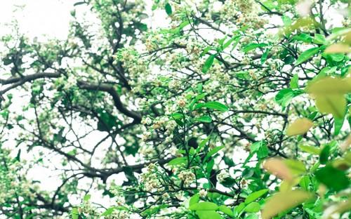 Hoa bưởi bung nở trắng trời ở làng trồng bưởi nổi tiếng Hà Nội - ảnh 1