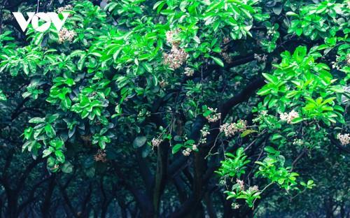 Hoa bưởi bung nở trắng trời ở làng trồng bưởi nổi tiếng Hà Nội - ảnh 10