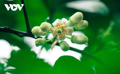 Hoa bưởi bung nở trắng trời ở làng trồng bưởi nổi tiếng Hà Nội - ảnh 11