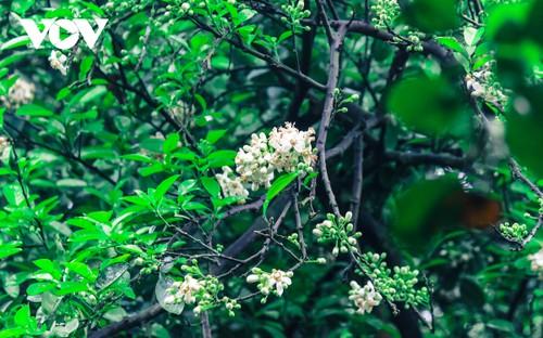 Hoa bưởi bung nở trắng trời ở làng trồng bưởi nổi tiếng Hà Nội - ảnh 12