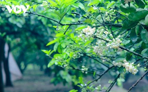 Hoa bưởi bung nở trắng trời ở làng trồng bưởi nổi tiếng Hà Nội - ảnh 3