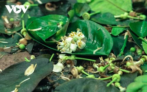 Hoa bưởi bung nở trắng trời ở làng trồng bưởi nổi tiếng Hà Nội - ảnh 6