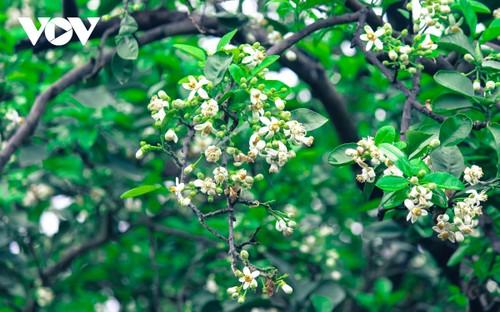 Hoa bưởi bung nở trắng trời ở làng trồng bưởi nổi tiếng Hà Nội - ảnh 5