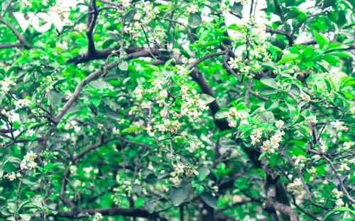 Hoa bưởi bung nở trắng trời ở làng trồng bưởi nổi tiếng Hà Nội - ảnh 7