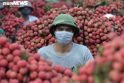 Ấn tượng hàng dài xe chở vải nối đuôi nhau đến điểm thu mua ở Bắc Giang - ảnh 5