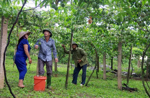 Warga Kabupaten Moc Chau menanam pohon markisa untuk ekspor - ảnh 1