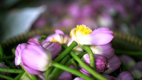 Ханойский лотосовый чай - утончённый вкус и изысканный аромат - ảnh 10
