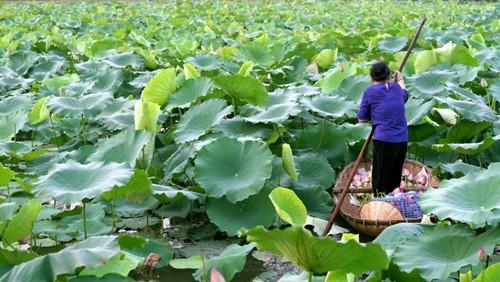 Ханойский лотосовый чай - утончённый вкус и изысканный аромат - ảnh 4