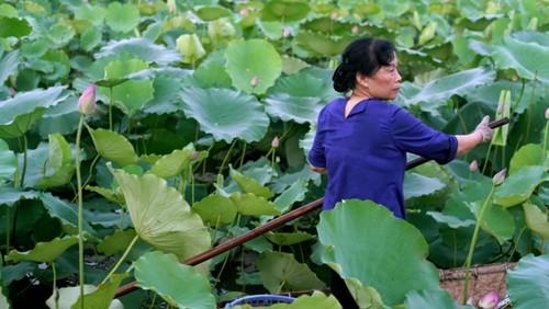 Ханойский лотосовый чай - утончённый вкус и изысканный аромат - ảnh 7