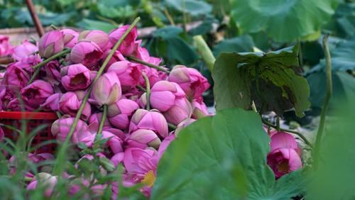 Ханойский лотосовый чай - утончённый вкус и изысканный аромат - ảnh 9