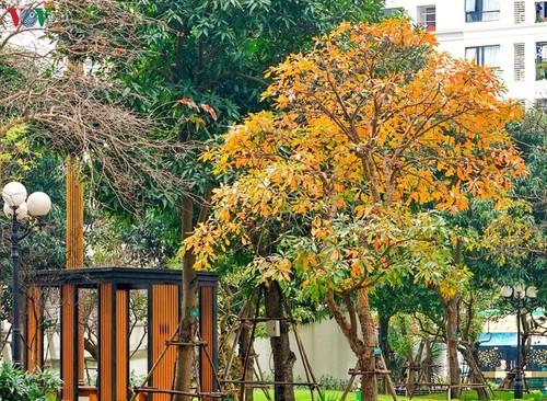 Красочный Ханой - листья деревьев меняют цвет - ảnh 11
