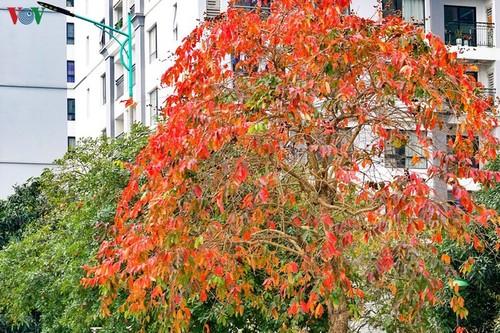 Красочный Ханой - листья деревьев меняют цвет - ảnh 2