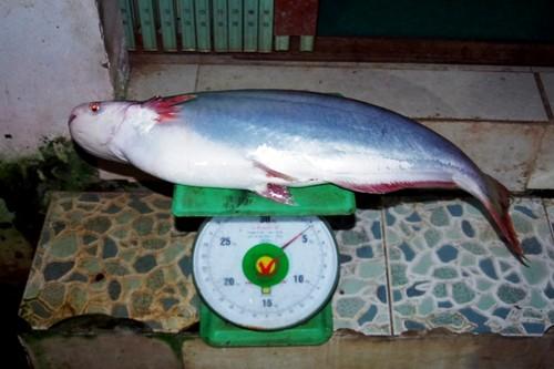 Về cồn An Lộc săn cá bông lau sông Hậu - ảnh 13