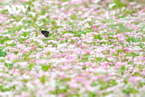 Провинция Хазянг в сезон цветения гречихи - ảnh 5