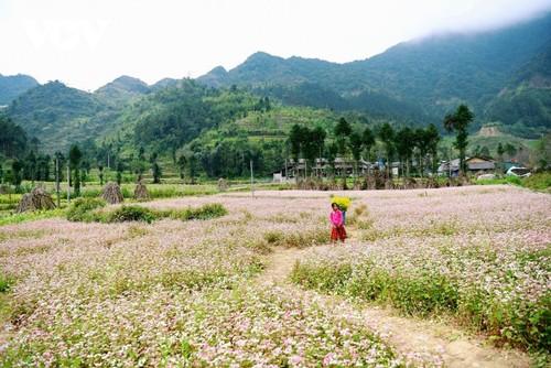 Провинция Хазянг в сезон цветения гречихи - ảnh 8