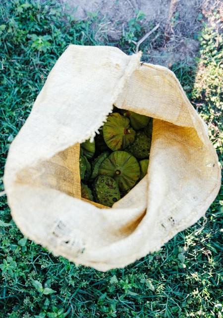 Lotus harvest season in Quang Nam - ảnh 10