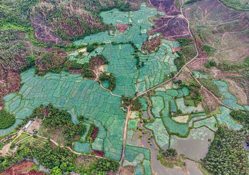 Lotus harvest season in Quang Nam - ảnh 1
