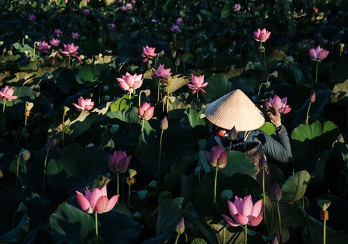 Lotus harvest season in Quang Nam - ảnh 4