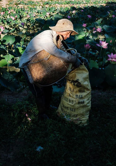 Lotus harvest season in Quang Nam - ảnh 9