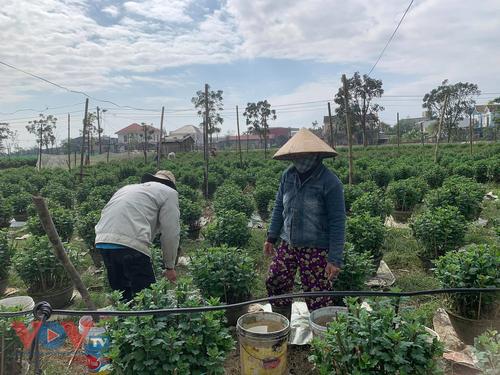 Những làng hoa xứ Huế rộn ràng vào Xuân - ảnh 4