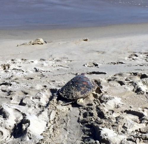 Quảng Nam: Thả cá thể rùa xanh quý hiếm về biển - ảnh 1