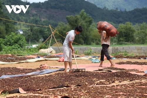 La cosecha del anís estrellado de los lugareños de Lang Son - ảnh 2