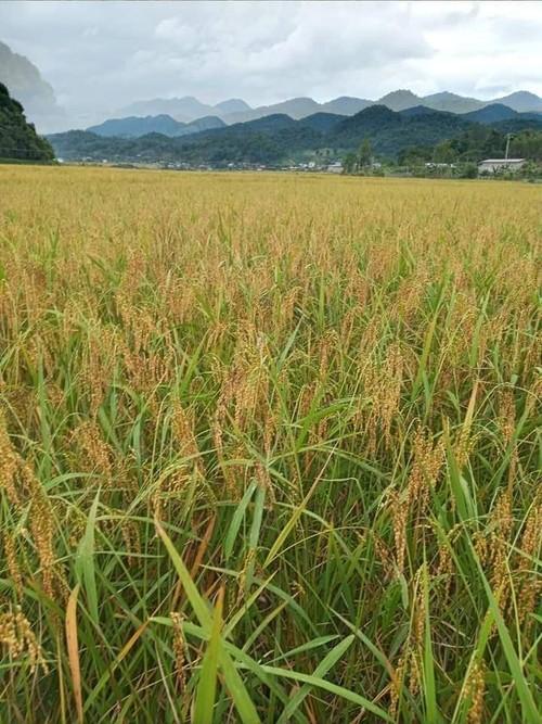 Sticky rice, a specialty of Muong Va commune, Son La province - ảnh 2