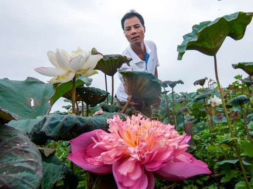 Dracontomelons and lotus – summer specialties in Hanoi - ảnh 5