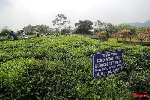 Thai Nguyen baut Marke Tan Cuong-Tee für Tourismus-Entwicklung auf - ảnh 1