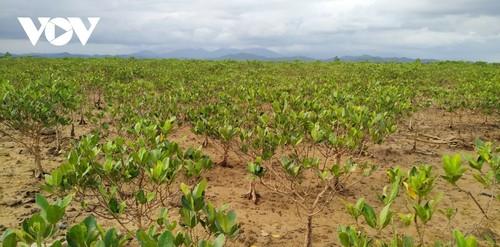 La mangrove de Dông Rui  - ảnh 1