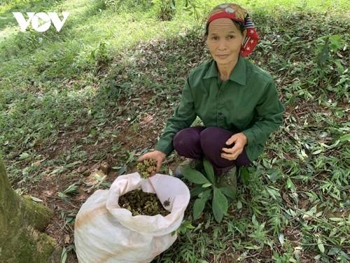 Récolter la badiane avec les habitants de Lang Son - ảnh 1
