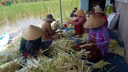 Nông dân vùng U Minh Hạ trồng cây bồn bồn phát triển kinh tế - ảnh 2