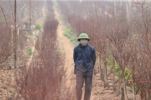 Người trồng đào, quất tất bật vào vụ Tết nguyên đán 2021 - ảnh 1