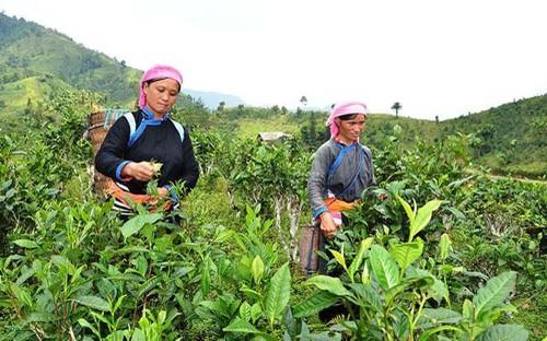 Chương trình mỗi xã một sản phẩm (OCOP) ở tỉnh Lào Cai - ảnh 1
