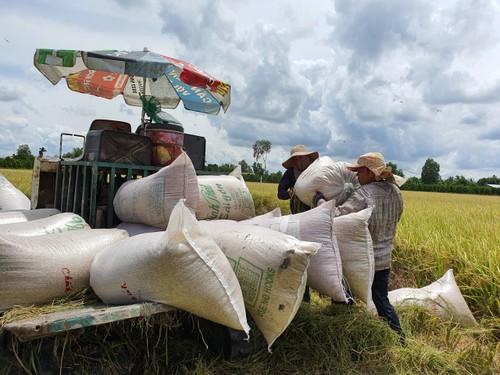 Vụ lúa Đông Xuân vùng Đồng bằng Sông Cửu Long thắng lớn - ảnh 1