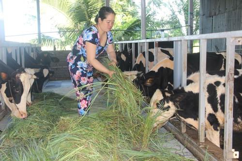 Hiệu quả của nghề chăn nuôi bò sữa ở Sóc Trăng - ảnh 1