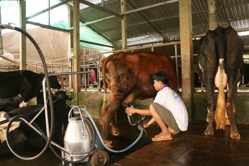 Hiệu quả của nghề chăn nuôi bò sữa ở Sóc Trăng - ảnh 2