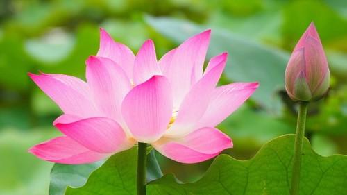 เสน่ห์ความงามของดอกบัว - ảnh 1